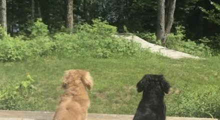 2 dogs looking out at garden