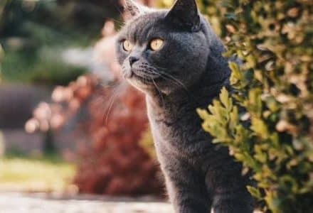 grey cat sitting behind a bush with face sticking out