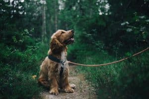 dog sitting on path in forest with rope lead