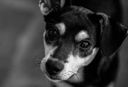 black and white small dog