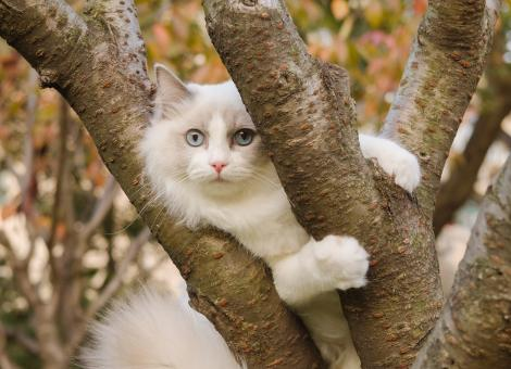white cat with blue eyes laying in a tree