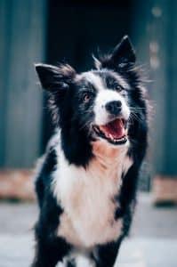 black and white dog shaking