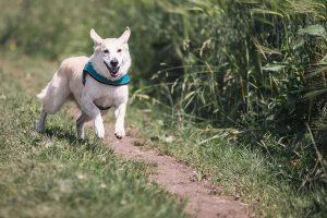 dog running towards camera through field