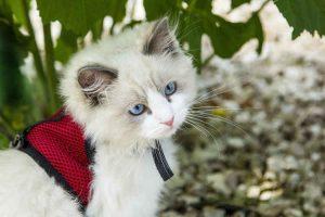 baby cat kitten in harness