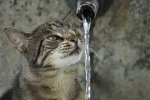 cat looking at water from tap