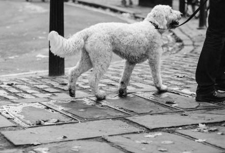 black and white image of dog on a lead