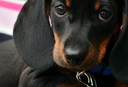 dachshund being hugged
