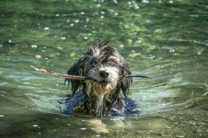 wet dog in open water with stick in mouth
