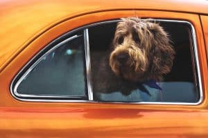 dog with head out of the window
