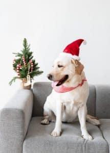 dog in santa hat sitting on sofa