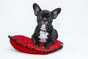 french bulldog puppy on a cushion