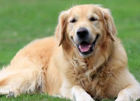 Golden retriever dog laying on grass
