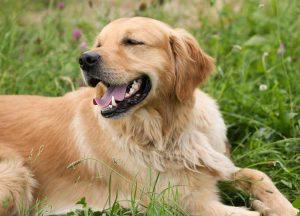 golden retriever lying in the grass
