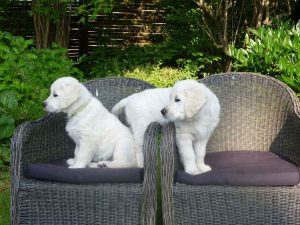 dogs playing on armchairs in garden
