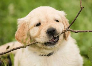puppy playing with a stick