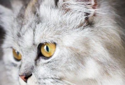 close up of face of silver cat
