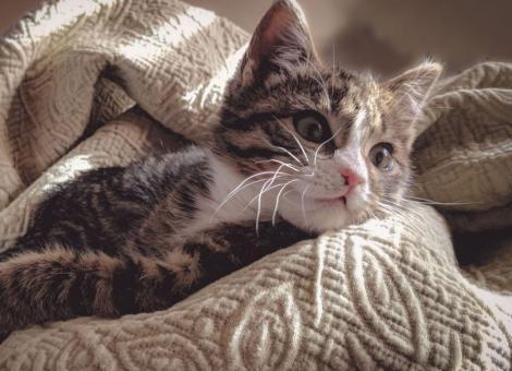 tabby cat laying on cream blanket