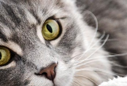 close up of grey cat face