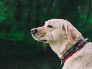 labrodor dog calm in the sun