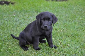 labrador dog puppy on the grass