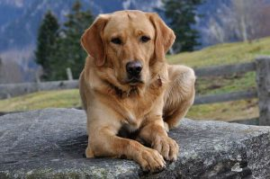 labrador lying on a slab of rock by a mountain