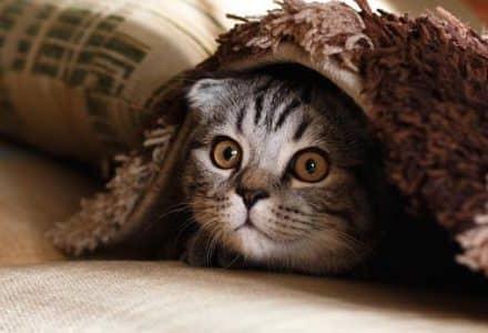 Cat hiding under a blanket