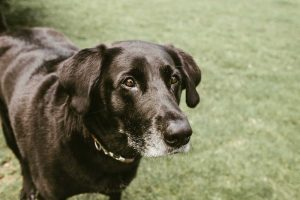 Black Labrador in garden