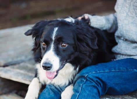 black and white dog laying next to person wearing jeans and jumper