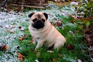 pug dog in a snowy garden