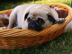 pug in a basket in the garden