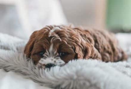 small dog laying on grey fluffy blanket