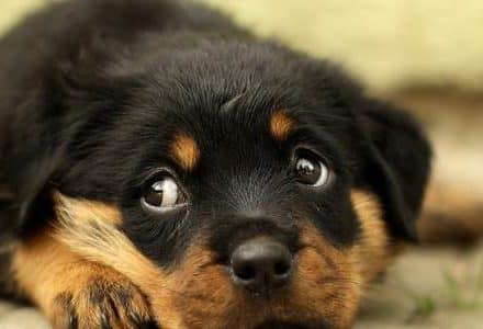 rottweiler puppy cute