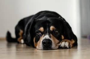 rottweiler cross lying on a wooden floor