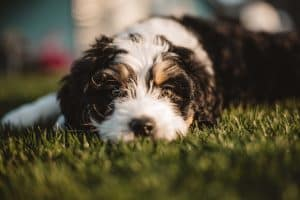 close up of black and white dog's face laying on grass