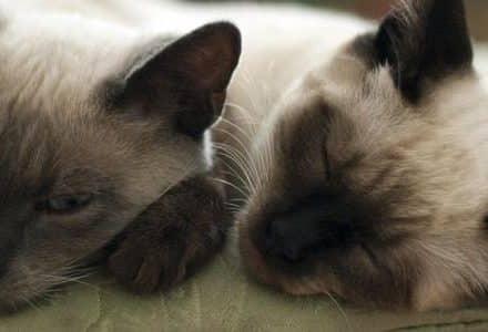 siamese cats sleeping