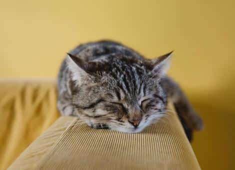 tabby cat laying asleep on back of yellow sofa