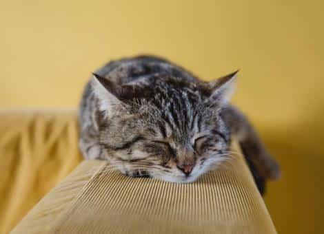 tabby cat laying asleep on back of yellow sofa