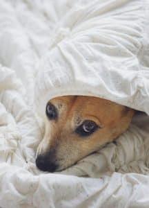 Dog hiding under the duvet