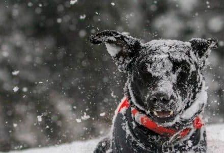 black dog in snow