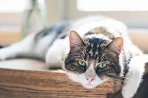 Tabby and white cat laying on a wooden table