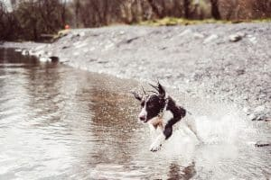 dog running in a stream of water
