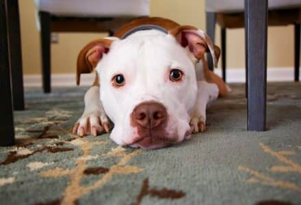 Bully breed lying under a table