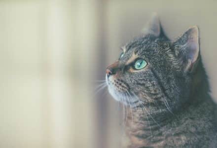 tabby cat looking out windown